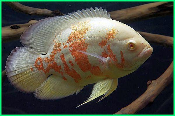 cara merawat ikan oscar albino, ikan oscar albino cantik indah