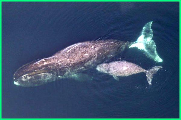 ikan paus terbesar di dunia sekarang saat ini