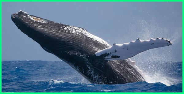 foto ikan yang terbesar di dunia, ikan terbesar di dunia makan orang, ikan paus terbesar di dunia makan orang, ikan terbesar di seluruh dunia nyata, gambar ikan terbesar di dunia nyata