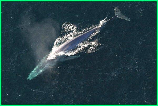 nama ikan yang memakan nabi ayub bisa saja ini, ikan terbesar dunia, ikan terbesar di dunia, ikan terbesar di dunia yang masih hidup, ikan terbesar di dunia yang pernah ditemukan