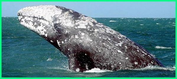 spesies ikan terbesar di dunia adalah