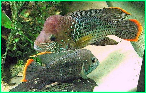 Cara Merawat Ikan Hias Green Terror Teror Hijau Dunia Fauna Hewan Binatang Tumbuhan Dunia Fauna Hewan Binatang Tumbuhan