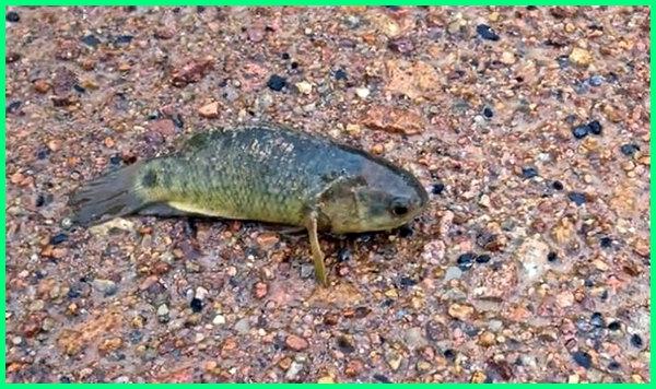 ikan di darat afrika, indonesia hidup penanganan berjalan hibernasi mimpi, lungfish al kahfi adalah apa aja laut asam air naik ke aceh dilaut lirik arti, bawal bisa jalan yang berhibernasi, paus banda cara teluk cempedak chord, dalam surat dan bertemu juga belanga terbesar dunia