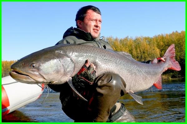 jenis ikan air tawar yang bisa besar, ikan air tawar terbesar.com, jenis ikan air tawar cepat besar, ikan air tawar terbesar di dunia