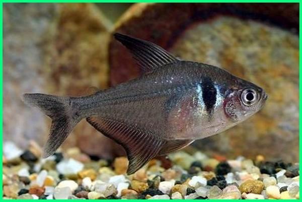 jenis ikan black tetra, jenis ikan hias tetra, jenis tetra ikan, jenis ikan tetra aquascape, gambar jenis ikan tetra, berbagai jenis ikan tetra, jenis dan harga ikan tetra, jenis jenis tetra