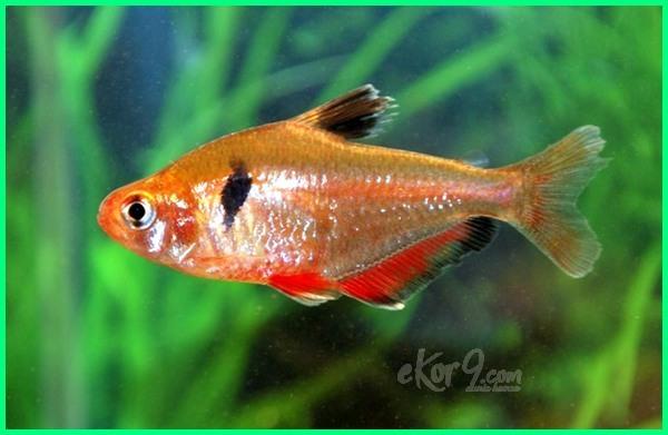 ikan hias serpae tetra, budidaya ikan hias tetra, ikan hias air tawar jenis tetra, budidaya ikan hias neon tetra pdf, cara ternak ikan hias tetra, ikan hias jenis tetra