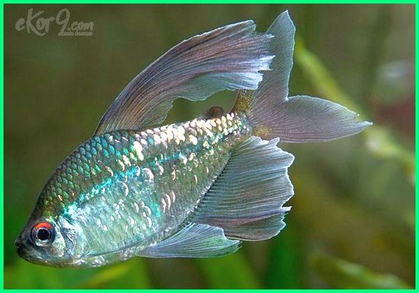 jenis ikan hias tetra