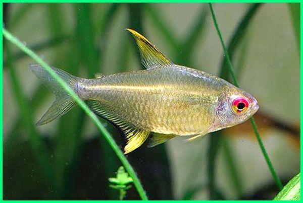 jenis tetra, jenis tetra aquascape, jenis super tetra, jenis ikan tetra dan harganya, jenis ikan golongan tetra, jenis ikan hias tetra, gambar jenis ikan tetra, berbagai jenis ikan tetra