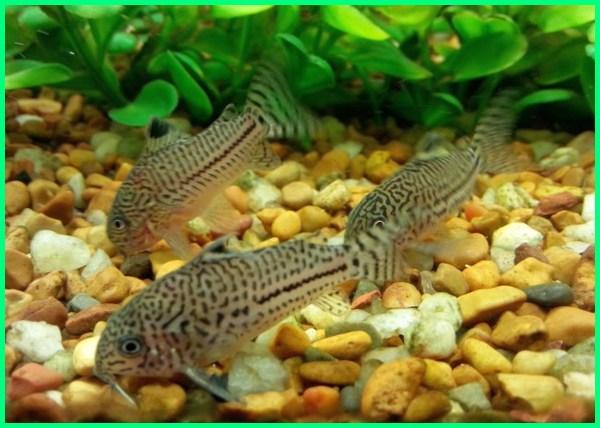 jurnal ikan corydoras, klasifikasi ikan corydoras, karakter ikan corydoras, kegunaan ikan corydoras, keunikan ikan corydoras, laporan ikan corydoras