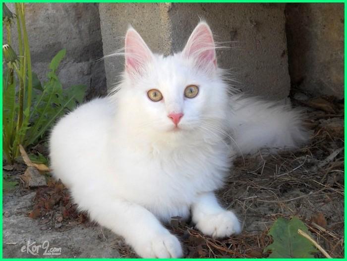 kucing anggora adalah, kucing anggora asli dan lucu, kucing anggora cantik, kucing anggora ciri ciri, kucing anggora gambar, foto kucing anggora imut dan lucu