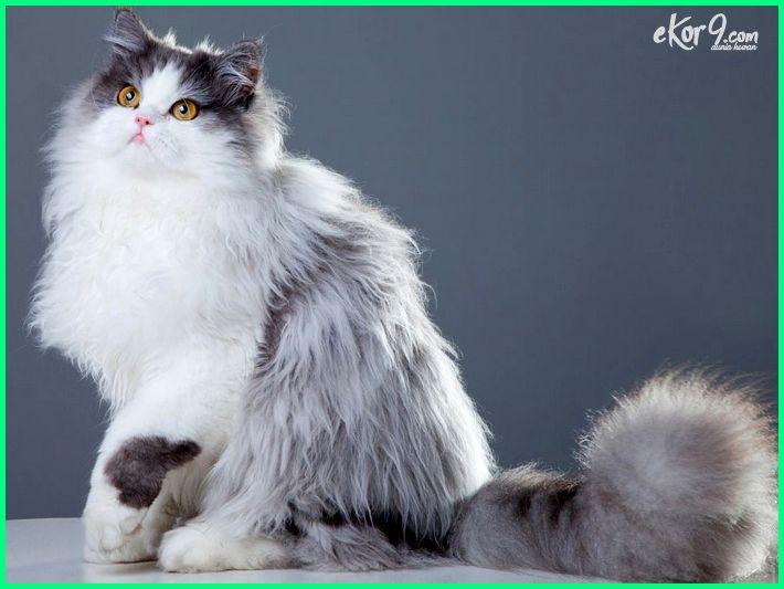 kucing persia adalah, kucing persia, kucing persia asli, kucing persia hitam, kucing persia abu abu, kucing persia abu putih