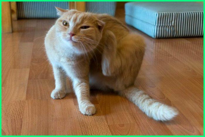 dari mana kutu kucing berasal, telur kutu kucing, shampo kutu kucing yang ampuh, kutu kucing di rumah, kutu rambut kucing, spray kutu kucing untuk rumah, wabah kutu kucing, kutu kucing sama dengan kutu manusia