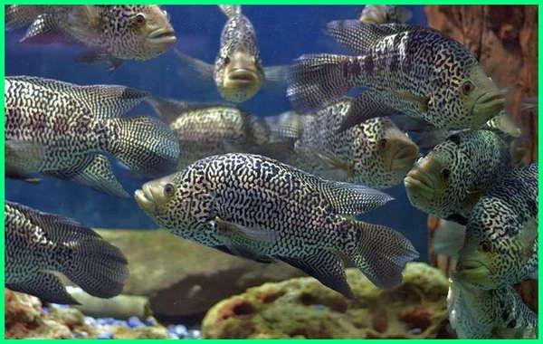 ikan hias jaguar, harga ikan hias jaguar, ikan jaguar jantan, jual ikan jaguar cichlid, ikan louhan jaguar, makanan ikan jaguar, mengenal ikan jaguar, ikan oscar jaguar, ikan predator jaguar, perawatan ikan jaguar, ikan louhan red jaguar, ikan jaguar siklid, ikan jaguar terbesar, harga ikan jaguar cichlid terbaru