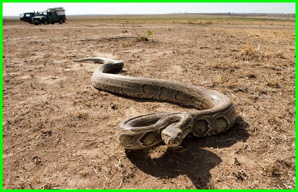 ular besar makan orang tak berbisa manusia di kalimantan amerika serikat indonesia dunia anaconda amazon angka raksasa mimpi artinya ada rumah melihat ketemu apa bikin kaget berlumut bertelur berantem banget berkelahi bermahkota emas banyak besar.com cobra cari mangsa cantik coklat cabe cabai kobra riau dikejar digigit dililit didatangi dipatuk dimakan erek ekor elang berkaki empat vs foto