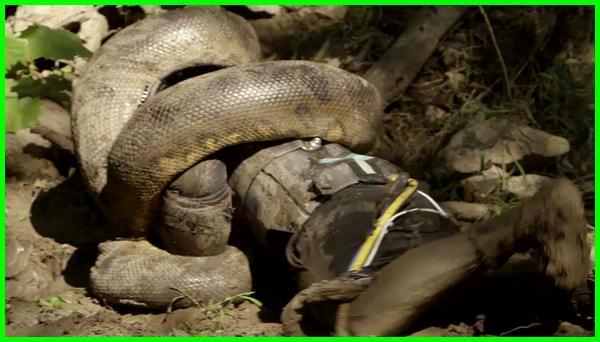 ular besar vs manusia, ular besar.com, ular besar cari mangsa, dikejar ular besar, ular besar foto, ular paling besar, foto ular besar makan manusia, ular besar hidup