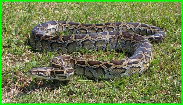 ular besar makan manusia, ular besar gigit manusia, ular besar vs manusia, manusia vs ular besar
