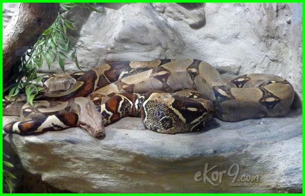 ular boa terbesar, ular besar di dunia, ular paling besar, ular besar makan orang, boa pembelit
