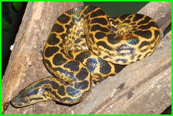mimpi ular besar warna kuning