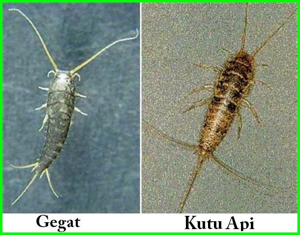 serangga perusak pakaian orang