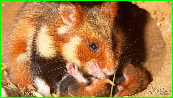 hamster hewan kanibal, hewan kanibal terganas, hewan kanibal apa saja, contoh hewan kanibal, hewan kanibal di dunia, gambar hewan kanibal, hewan hewan kanibal, jenis hewan kanibal, macam hewan kanibal, makanan hewan kanibal, hewan paling kanibal, hewan yang termasuk kanibal, 7 hewan kanibal, video hewan kanibal, hewan yang kanibal, 10 hewan kanibal, hewan kanibal adalah