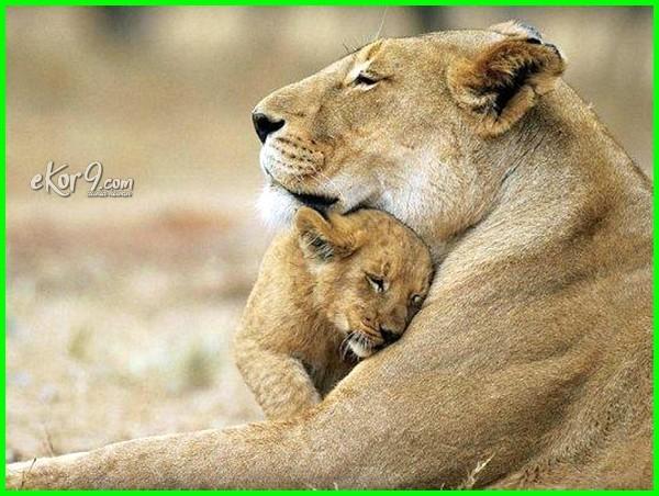 singa termasuk hewan kanibal karena, hewan makan anak, hewan makan anak sendiri, hewan makan anaknya, hewan memakan anaknya, hewan yang makan anak hewan yg makan anaknya, binatang makan anak sendiri, hewan yang makan anaknya sendiri