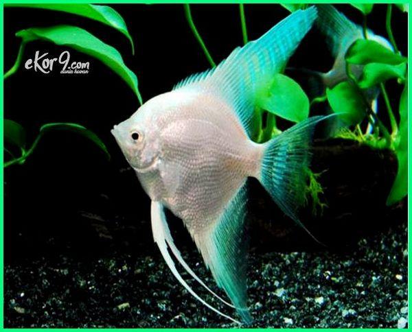 Ikan Manfish Si Angelfish Ikan Bidadari Air Tawar Dunia Hewan