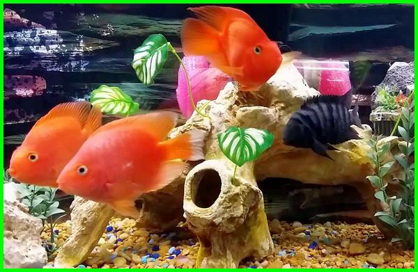 Blood Parrot Fish, Ikan Kakatua Merah