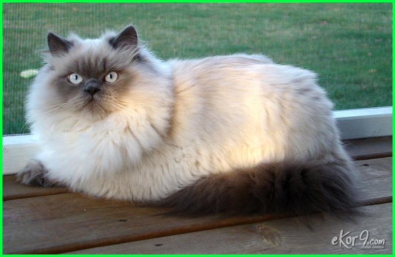 kucing himalaya, kucing himalaya persia, kucing himalaya asli, jual kucing himalaya asli, gambar kucing himalaya asli, kucing himalaya jenis apa, kucing himalaya biasa, kucing himalaya.com, kucing himalaya dewasa, kucing himalaya dan siam