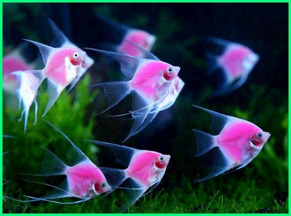 karakter manfish, karakteristik manfish, man fish lenormand, manfish makanan, manfish pdf, sirip ikan manfish rusak, manfish terbesar, ternak manfish, manfish untuk aquascape, makanan untuk manfish, manfish vs angelfish, ikan manfish wiki, harga ikan manfish zebra, harga ikan manfish 2018, 2019, 2020, apa makanan manfish, apa makanan ikan manfish, apakah ikan manfish galak, berapa lama telur ikan manfish menetas, kenapa ikan manfish cepat mati, mengapa ikan manfish disebut juga dengan istilah angelfish