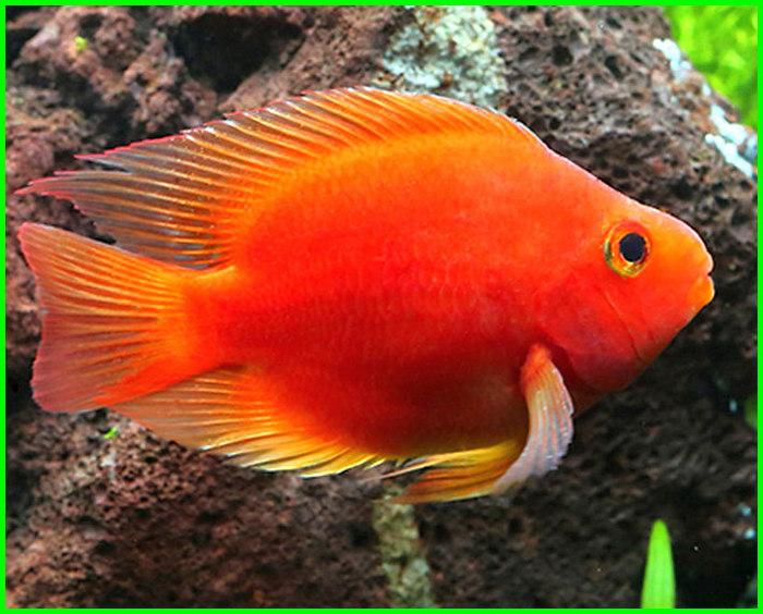 gambar ikan kakatua merah, harga ikan kakatua merah, jual ikan kakatua merah