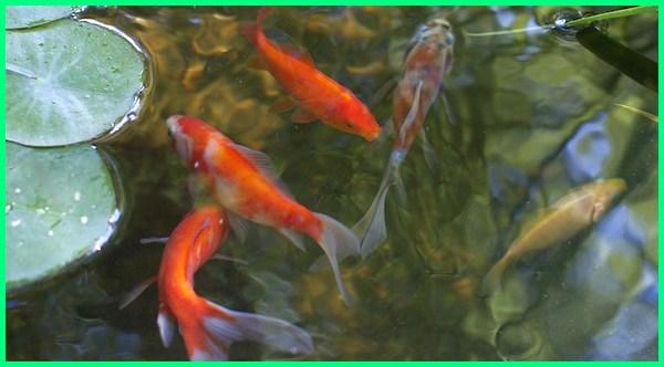 ikan koki.com, ikan koki goldfish, ikan koki hidup di air, ikan koki perawatan, ikan koki terbaik, ikan koki yang sehat, ikan koki yg sehat, ikan koki yang paling bagus, jenis 2 ikan mas koki, gambar ikan koki 3d