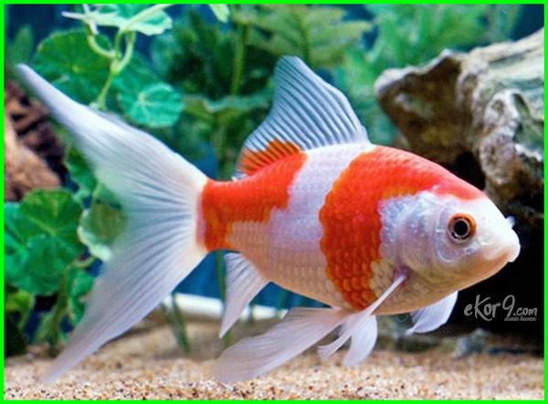 Ikan Komet , Ikan Cantik Penghias Aquarium Dengan Harga Termurah ...