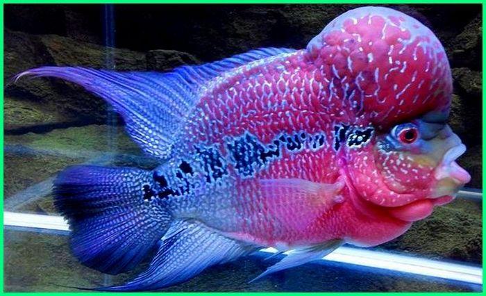 Cara Merawat Ikan Louhan Si Flowerhorn Yang Jenong Dunia Fauna Hewan Binatang Tumbuhan Dunia Fauna Hewan Binatang Tumbuhan