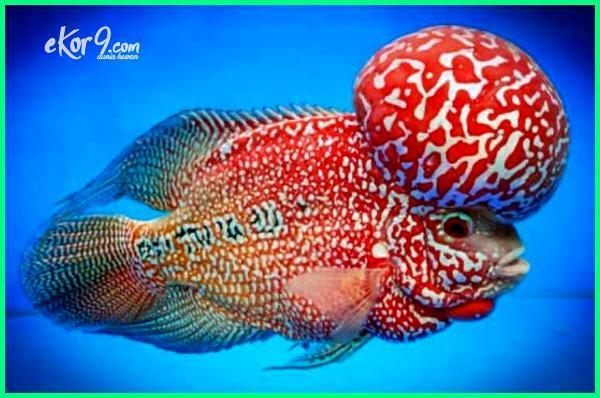 ikan louhan mahal, jual ikan louhan import, ikan louhan aquarium, harga ikan louhan 2018-2019-2020-2021-2022, ikan louhan cencu, ikan louhan, ikan louhan kamfa, ikan louhan srd