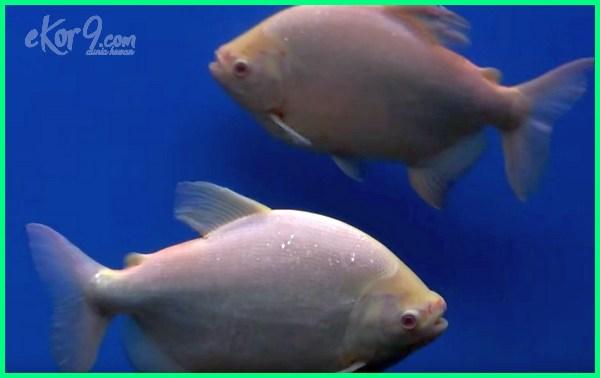 cara merawat ikan pacu albino, karakter ikan pacu, makanan ikan pacu kolam, umpan terbaik ikan pacu kolam, pakan ikan pacu albino, pakan ikan pacu, ternak ikan pacu, ternakan ikan pacu