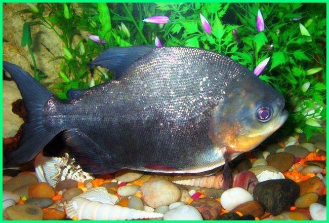 ikan pacu, cara merawat ikan pacu, ikan black pacu, jual ikan black pacu, harga ikan black pacu, perbedaan ikan pacu dan piranha, ikan pacu in english, foto ikan pacu, fakta ikan pacu, gambar ikan pacu