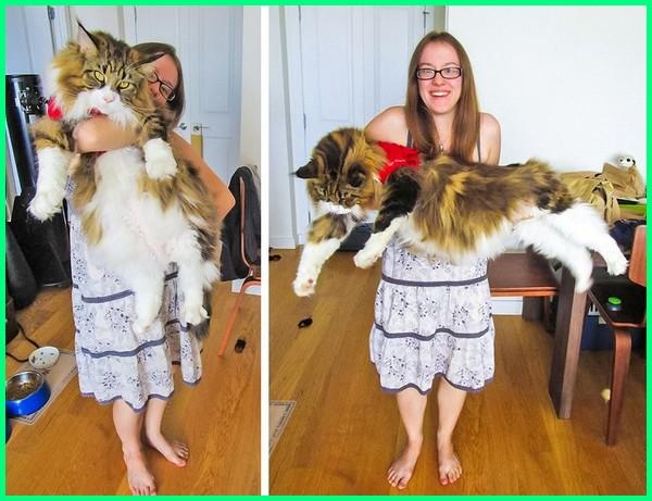 Pesona 6 Ras Kucing Besar Ini Bisa Bikin Kamu Jatuh Hati Dunia Fauna Hewan Binatang Tumbuhan Dunia Fauna Hewan Binatang Tumbuhan