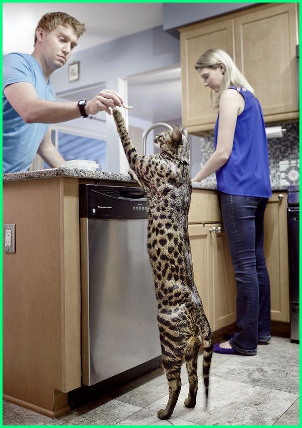 jenis kucing tinggi besar, kucing savannah f1, kucing savannah terbesar, kucing hutan savannah, kucing jenis savannah, karakter kucing savannah, memelihara kucing savannah, peternak kucing savannah, kucing ras savannah
