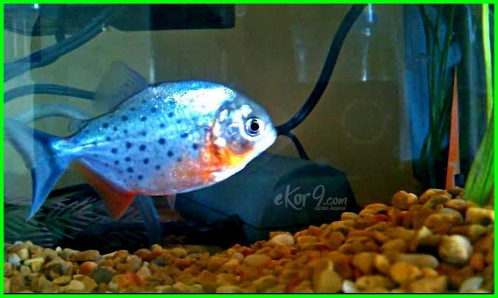 Cara Memelihara Ikan Piranha Perut Merah Di Akuarium Dunia Fauna Hewan Binatang Tumbuhan Dunia Fauna Hewan Binatang Tumbuhan