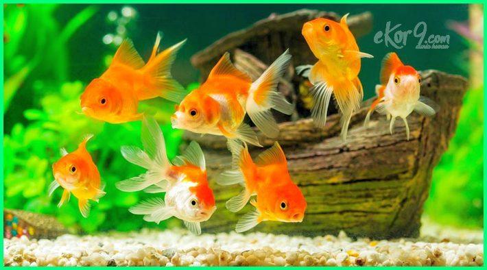 Semua Tentang Ikan Hias Mas Koki Dunia Fauna Hewan Binatang Tumbuhan Dunia Fauna Hewan Binatang Tumbuhan