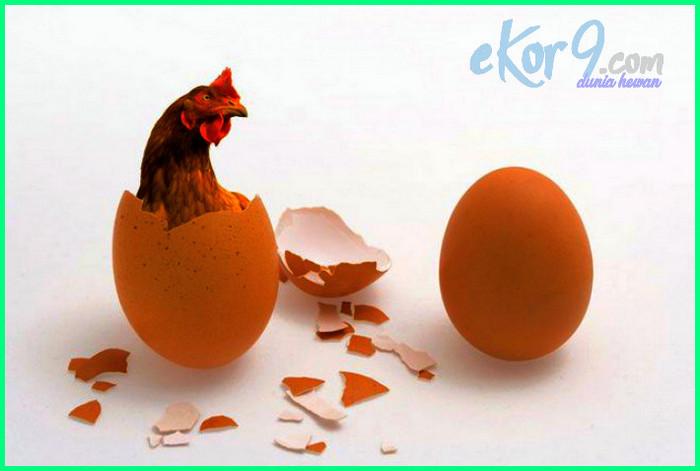 telur atau ayam yang duluan ada, telur atau ayam dahulu, telur atau ayam menurut islam, telur atau ayam yg lebih dulu, telur atau ayam dulu, telur apa ayam dulu, telur atau ayam yg duluan, telur atau ayam yang duluan, telur atau ayam lebih dulu, telur atau ayam yang lebih dulu, telur atau ayam yang lahir duluan, ayam atau telur duluan terjawab sudah, mana dulu telur atau ayam, duluan telur atau ayam tts lontong, jawaban duluan telur atau ayam, pertanyaan duluan telur atau ayam