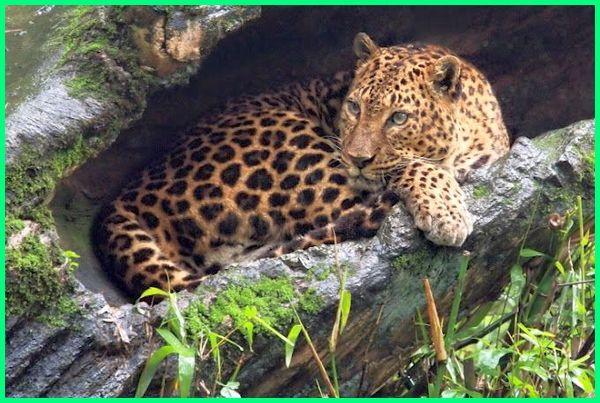 hewan endemik pulau jawa yang terancam punah adalah,hewan langka pulau jawa, hewan endemik pulau jawa adalah, hewan di pulau jawa yang sudah punah, jenis hewan pulau jawa, gambar hewan pulau jawa, hewan liar pulau jawa