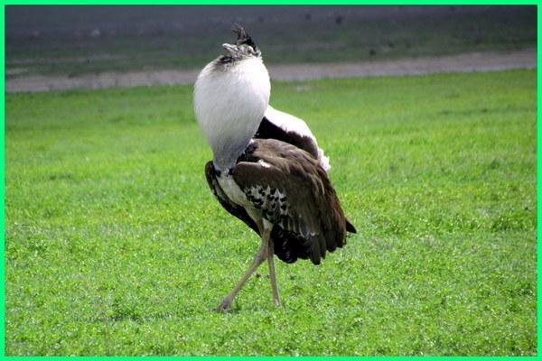 apa burung terbesar di dunia, apa nama burung terbesar di dunia