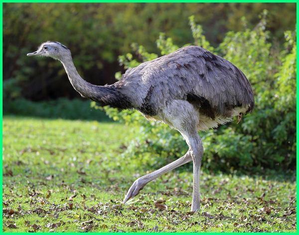 burung terbesar di dunia, burung terbesar adalah, burung cowok terbesar di dunia, burung terbesar di dunia yang masih hidup, foto burung terbesar di dunia, foto burung terbesar, foto burung terbesar dunia fosil burung terbesar di dunia