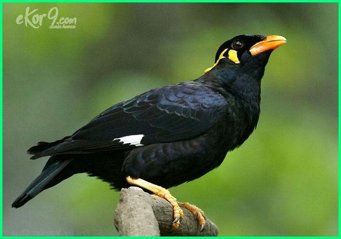 hewan endemik langka indonesia, hewan endemik langka di indonesia, hewan endemik indonesia yang langka