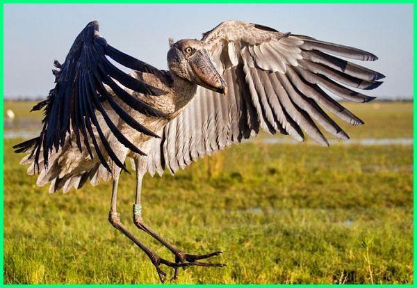 burung terbesar di dunia yang bisa terbang, burung bangau terbesar di dunia, foto burung terbesar di dunia, foto burung terbesar dunia, burung pelican terbesar di dunia
