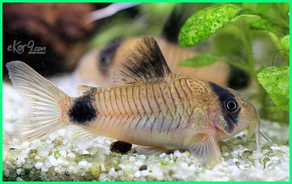 cara budidaya ikan corydoras, cara membedakan ikan corydoras jantan dan betina, cara pemijahan ikan corydoras, cara membudidayakan ikan corydoras, cara berternak ikan corydoras, cara mengawinkan ikan corydoras, cara berkembang biak ikan corydoras