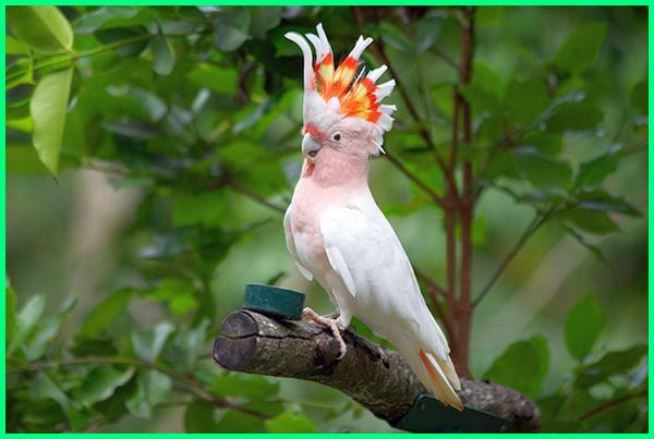 apa saja makanan burung kakak tua, kakak tua merah, apakah kakak tua jambul kuning dilindungi, burung kakatua makan apa, kenapa kakak tua muntah, kenapa burung kakatua bisa bicara, kenapa burung kakak tua teriak, kenapa burung kakak tua tidak mau makan, kenapa bulu kakatua rontok, kenapa burung kakak tua boleh bercakap