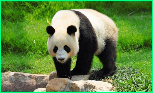 apa saja makanan panda, apa saja aktivitas panda, apa yang diketahui tentang panda, apakah yang kamu ketahui tentang panda,berapa lama panda tidur, berapa lama panda hidup, bisakah panda hidup di indonesia, kenapa panda makan bambu, kenapa panda hanya ada di china, kenapa panda lucu, kenapa panda jalannya unik