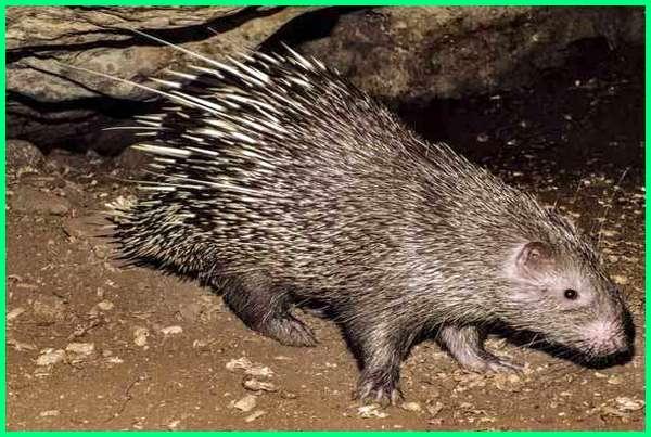 hewan langka pulau jawa, hewan endemik pulau jawa adalah, jenis hewan pulau jawa, gambar hewan pulau jawa, hewan liar pulau jawa, hewan langka di pulau jawa, hewan apa saja di pulau jawa